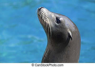 Sea lion - Portrait of a Californian Sea lion in the water