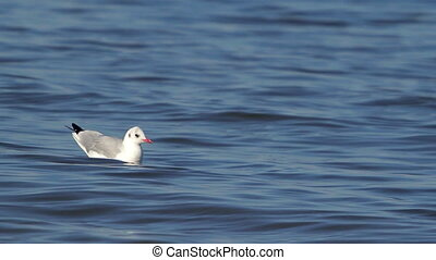 Lone Gull Floating On The River