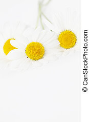 Oxeye daisies - Closeup of oxeye daisies on white background