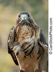 red tail hawk with intense look