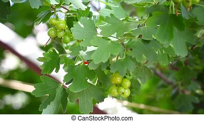ripening fruits, black currant - ripening fruits of black...