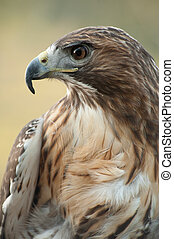 red tail hawk - close up profile of red tail hawk looking to...