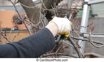 Tree-pruning in the spring with shears and working gloves