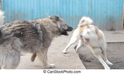 Playful fighting between dogs in the yard