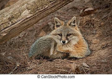 red fox looking at camera