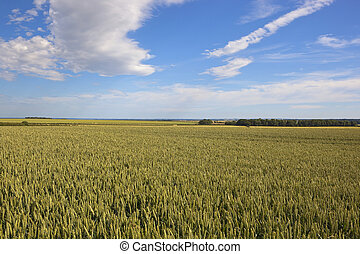 ripening wheat field - a ripening wheat field fiels in the...