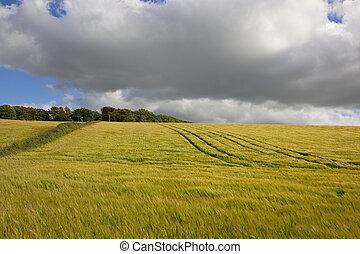 golden barley field - a ripening barley fiels in the...