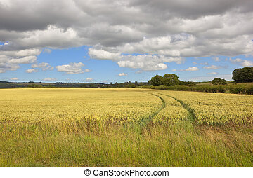 wolds wheat field - a golden wheat field in the yorkshire...