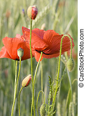 red poppy - unripe rye and red poppy on field