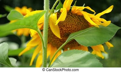 flower of sunflower close up