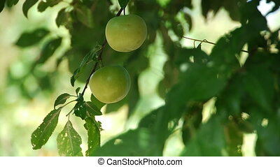Fresh green plum tree fruit - Fresh green plum fruit hanging...