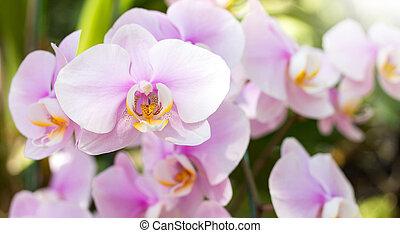 Purple phalaenopsis orchid flower