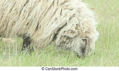 sheep grazing on the grass - sheep with dense fleece grazes...