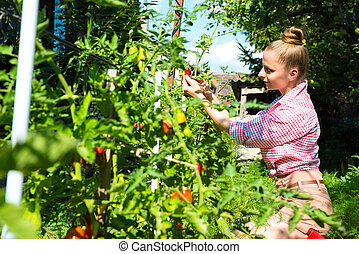 Harvesting organic Tomatoes in the garden