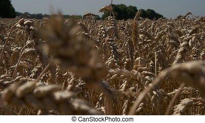 Field of golden wheat closeup