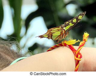 Niagara Malachite on a hand 2016 - Malachite butterfly on a...