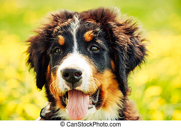 Bernese Mountain Dog Berner Sennenhund Puppy Close Up