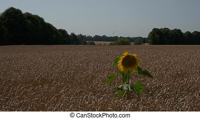 Alone sunflower in a field of wheat