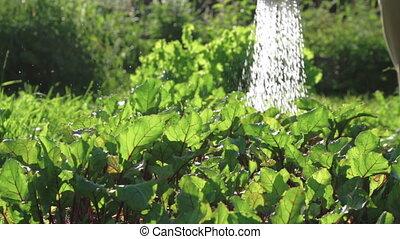 Garden Watering Plants - Gardener Watering a Garden with...