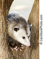 Possum in a Tree - A possum in a tree.