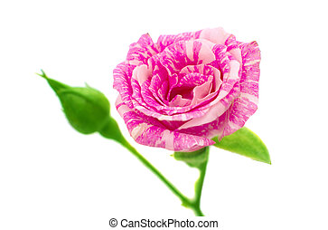 little pink rose on a white background