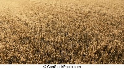 flight over a field of wheat
