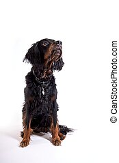 Waiting for that treat - A gordon setter patiently waiting...
