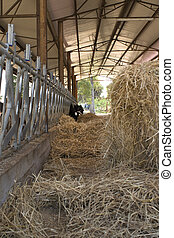 dairy cows in a cattle shed with hay bale - dairy cows...