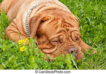 Dog asleep - Dogue de bordeaux sleeping in the summer grass