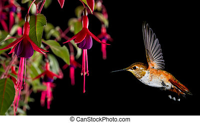 Hummingbird with tropical hardy fuchsia flower over black...