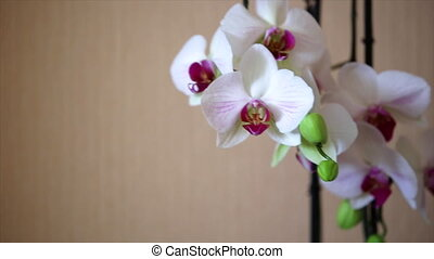 White Orchid closeup - white orchid close up Peach wall in...