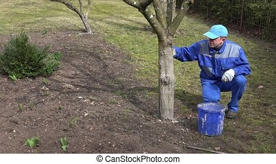 garden specialist man whitewash trees in springtime.