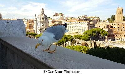 Rome feed seagull Vittorio Emanuell