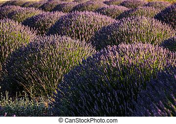 Sunset Over Violet Lavender Field in Turkey - Sunset over...