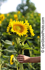 Young beautiful woman stands in a field of sunflowers, a...