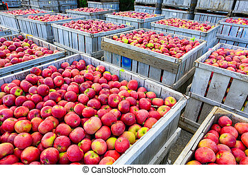 Wooden crates full of ripe apples during the annual...