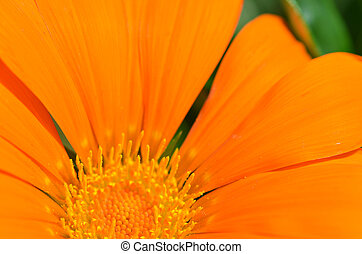 bonito, laranja, Gazania, flores