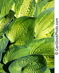 Leaves of decorative plant Hosta (Funkia). - Lush foliage of...
