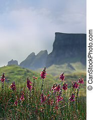 Skye mountains - Foxglove flowers, in the background the...