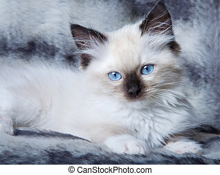 Blue eyed kitten - Seal point mitted ragdoll kitten lying on...