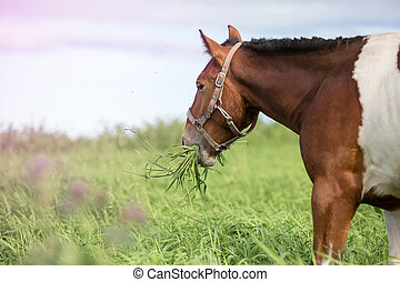Piebald horse in the summer pasture - Piebald horse eating...