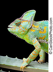 Yemen Chameleon - Yemen or Veiled Chameleon sitting on a...