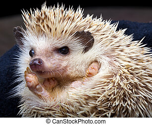 Pygmy hedgehog - African pygmy hedgehog walking in dead...