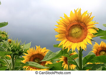 Sunflower field on a cloudy day