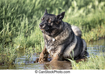Fluffy dog in muddy water - Fluffy dog is bathed in the...