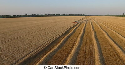harvester threshing ripe wheat aerial view.