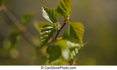 Fresh green little leaves grow on tree branch. Wooden...