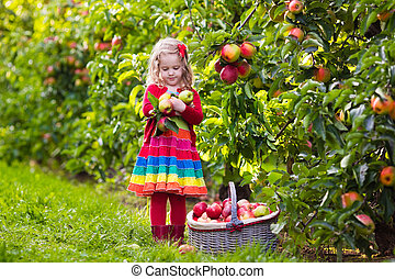 Little girl picking apples from tree in a fruit orchard -...
