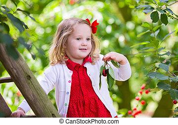 Little girl picking cherry - Kids picking cherry on a fruit...