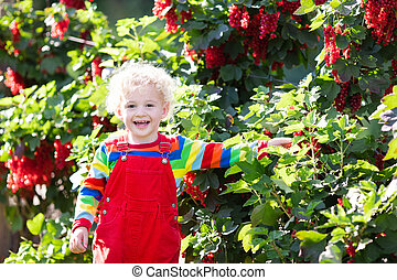 Little boy picking red currant berry - Little boy picking...